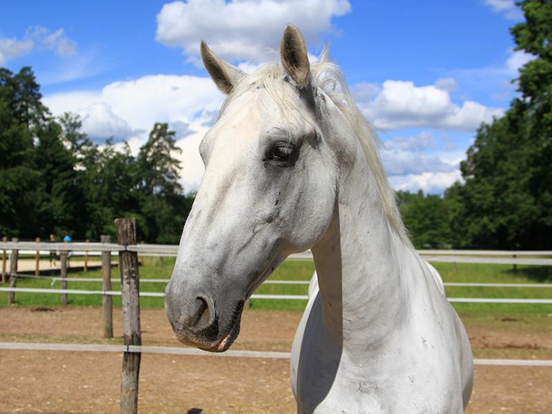 konji