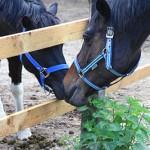 zanimivosti o konjih